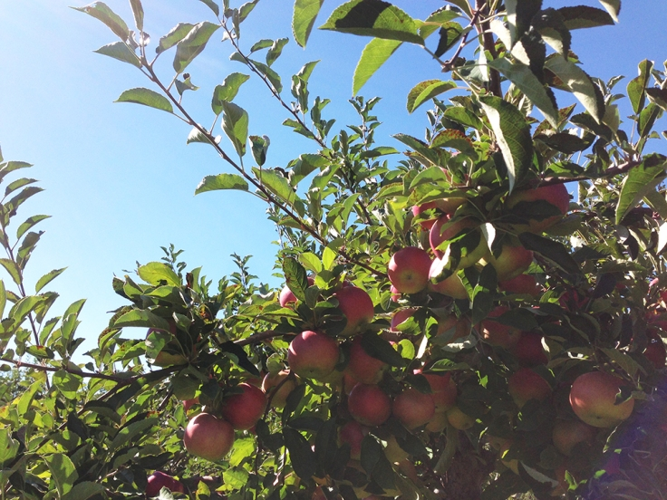 Apple Picking at Dame Farm Orchard