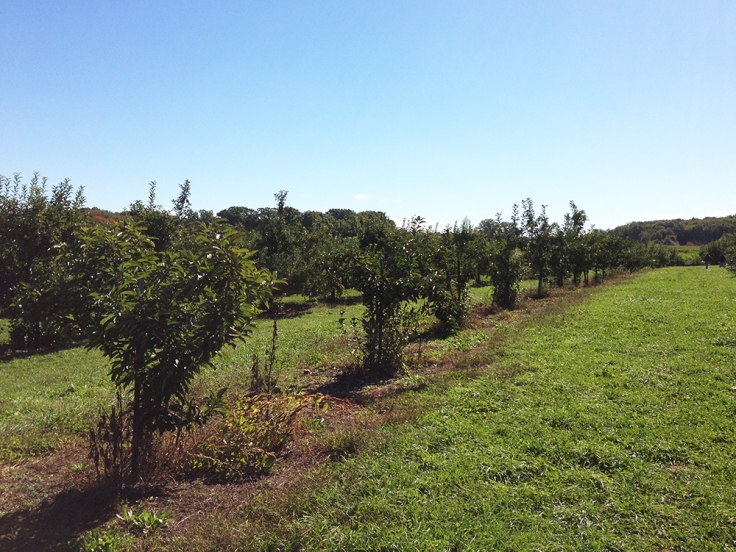 Apple Trees at Dame Farm Orchard