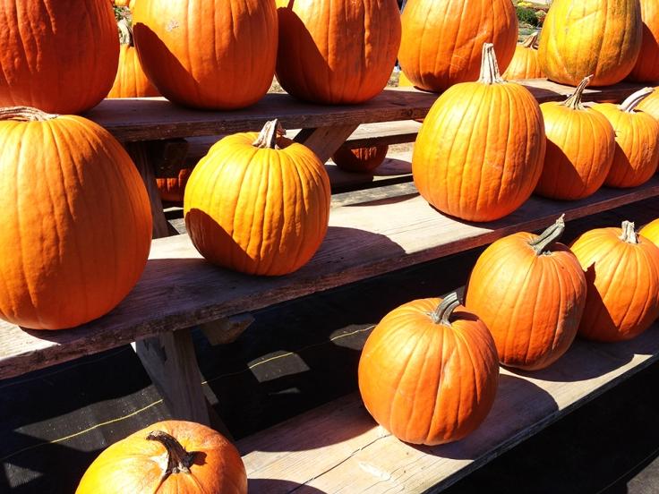 Pumpkins at Dame Farm Orchard
