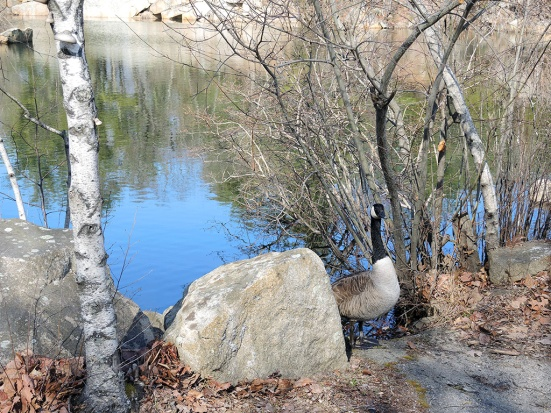 Man Fuel Food Blog - The Quarry - Hingham, MA - Geese